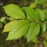 Лиственные саженцы деревьев