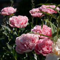 Пион молочноцветковый  'Этчед Салмон'