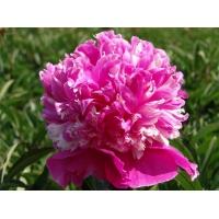 Пион молочноцветковый  'Селебрити'