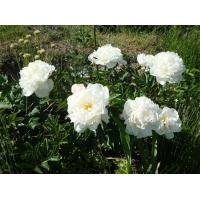 Пион молочноцветковый 'Гардения'