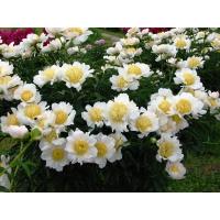 Пион молочноцветковый 'Мун оф Ниппон'