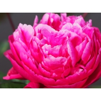Пион молочноцветковый 'Ред Сара Бернар'