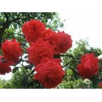 Роза Солита