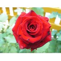 Роза ЛавлиРед