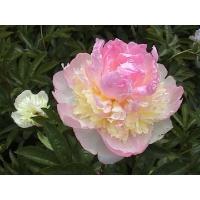 Пион молочноцветковый Рэспберри Сандэй