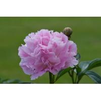 Пион молочноцветковый 'Диннер Плейт'
