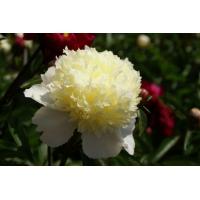Пион молочноцветковый 'Лаура Дессерт'