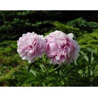 Пион молочноцветковый 'Кёнингин Вильгельмина'