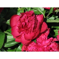 Пион молочноцветковый 'Рут Клэй'