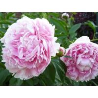 Пион молочноцветковый  'Сара Бернар'
