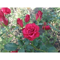 Роза Селена