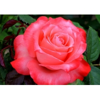 Роза Вижеон