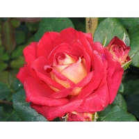 Роза  Султан