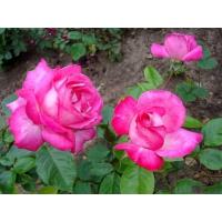 Роза Роз Гожар