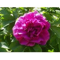 Роза морщинистая (Орловка)