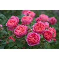 Роза Иден Роуз (Дэвид Остин)