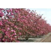Яблоня декоративная «Мокум»